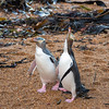 Pair of Yellow-eyed Penguins