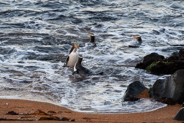 Yellow-eyed Penguin dispute