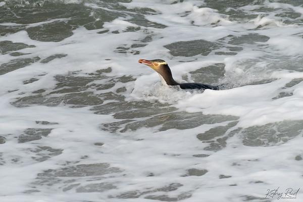 Yellow-eyed Penguin, Otago NZ