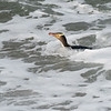 Yellow-eyed Penguin, Otago NZ