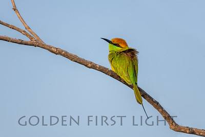 Green Bee-eater, Thailand