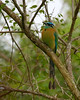 Blue-crowned Motmot, Costa Rica