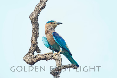 Indian Roller, India