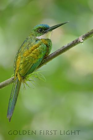 Rufous-tailed Jacamar, Tobago