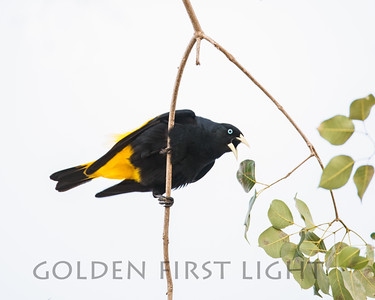 Yellow-Rumped Cacique, Pantanal Brazil