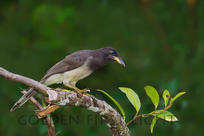 Brown Jay, Costa Rica