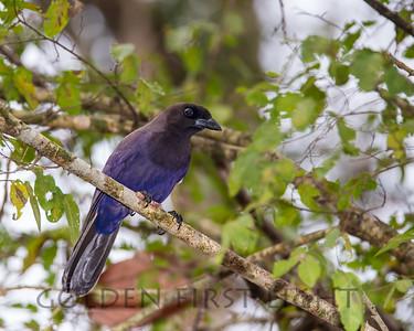 Purplish Jay, Pantanal Brazil