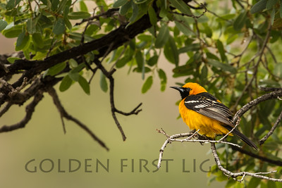 Hooded Oriole