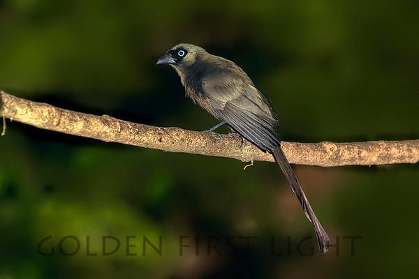 Racket-tailed Treepie, Thailand