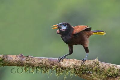 Montezuma Oropendola, Costa Rica