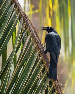 Giant Cowbird, Pantanal Brazil