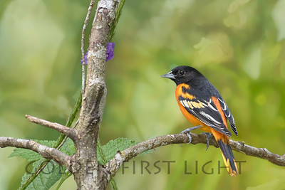 Baltimore Oriole, Costa Rica