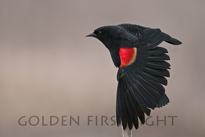 Red-winged Blackbird, Ridgefield National Wildlife Refuge