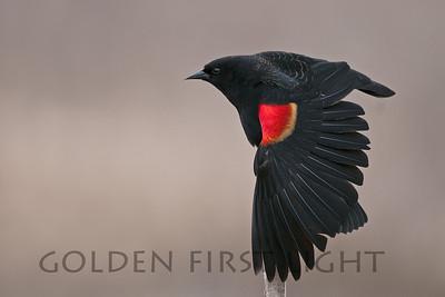 Red-winged Blackbird, Ridgefield National Wildlife Refuge