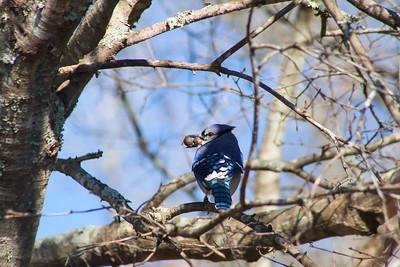 Blue Jays + Acorns