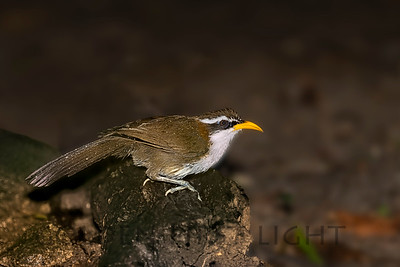White-browed Scimitar-Babbler, Thailand