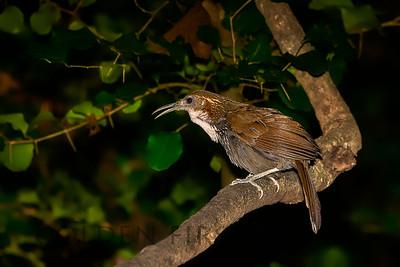 Large Scimitar-Babbler, Thailand