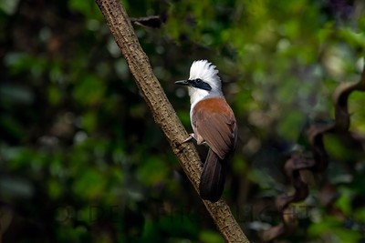 White-crested Laughingthrush, Thailand