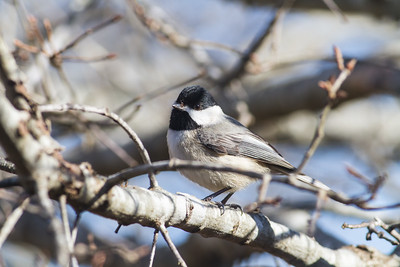 Carolina Chickadees Main Gallery