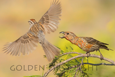 Red Crossbill and Chipping Sparrow