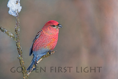 Pine Grosbeak, Ivalo Finland