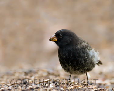 Medium Ground-finch, Galapagos