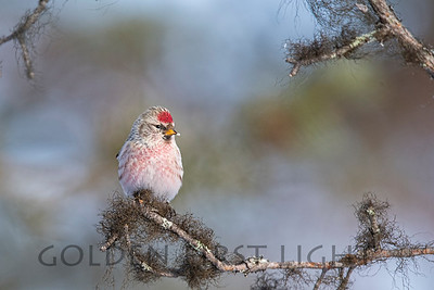 Hoary Redpoll, Ivalo Finland