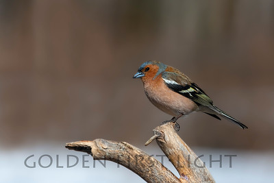 Common Chaffinch, Kuusamo Finland