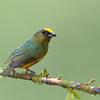 Olive-backed Euphonia, Costa Rica