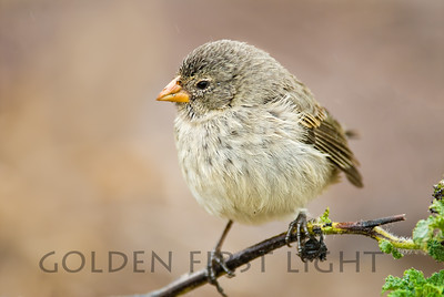 Small Ground-finch, Galapagos