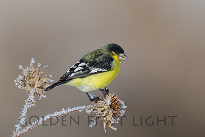 Lesser Goldfinch, Bosque del Apache National Wildlife Refuge