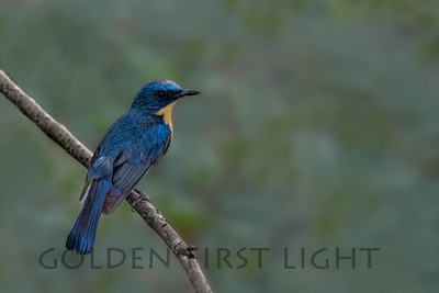 Tickell's Blue Flycatcher, India