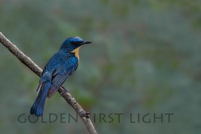 Tickell's Blue Flycatcher, India