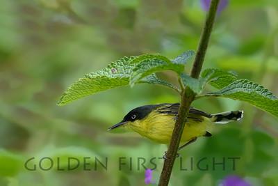 Common Tody-flycatcher, Costa Rica