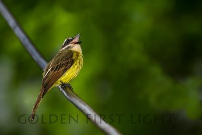 Golden-crowned Flycatcher, Ecuador