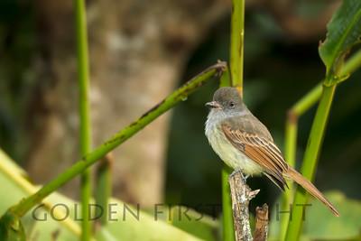 Rufous-tailed Flycatcher, Jamaica