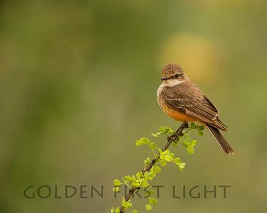 Vermilion Flycatcher (female), Agua-Caliente Park Tucson Arizona