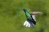 White-tailed Sabrewing, Tobago