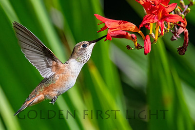 Rufous Hummingbird, Oregon