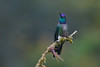 Magnificent Hummingbird, Costa Rica