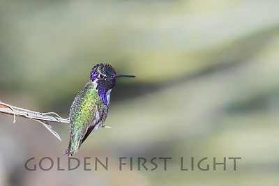 Costa's Hummingbird, Joshua Tree National Park
