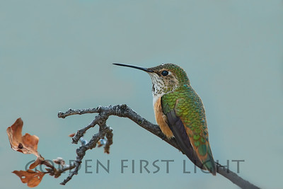 Rufous Hummingbird, Eastman Lake California