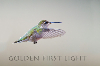 Black-chinned Hummingbird, Malheur National Wildlife Refuge
