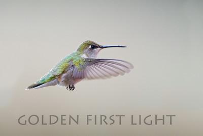 Black-chinned Hummingbird, Malheur National Wildlife Refuge