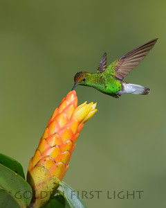 Coppery-headed Hummingbird, Costa Rica