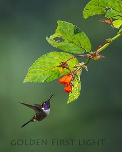 Purple-throated Woodstar, West Slope Andes, Ecuador