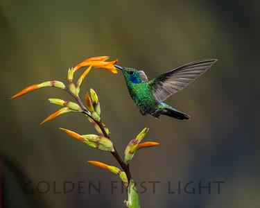 Lesser Violetear, Ecuador