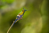 Wire-crested Thorntail, Ecuador