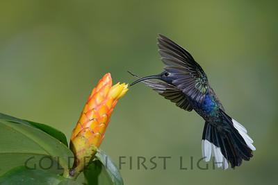 Violet Sabrewing, Costa Rica