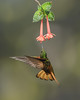 Chestnut-breasted Coronet, Ecuador